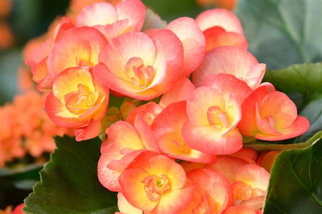 Begonia Plant Varieties