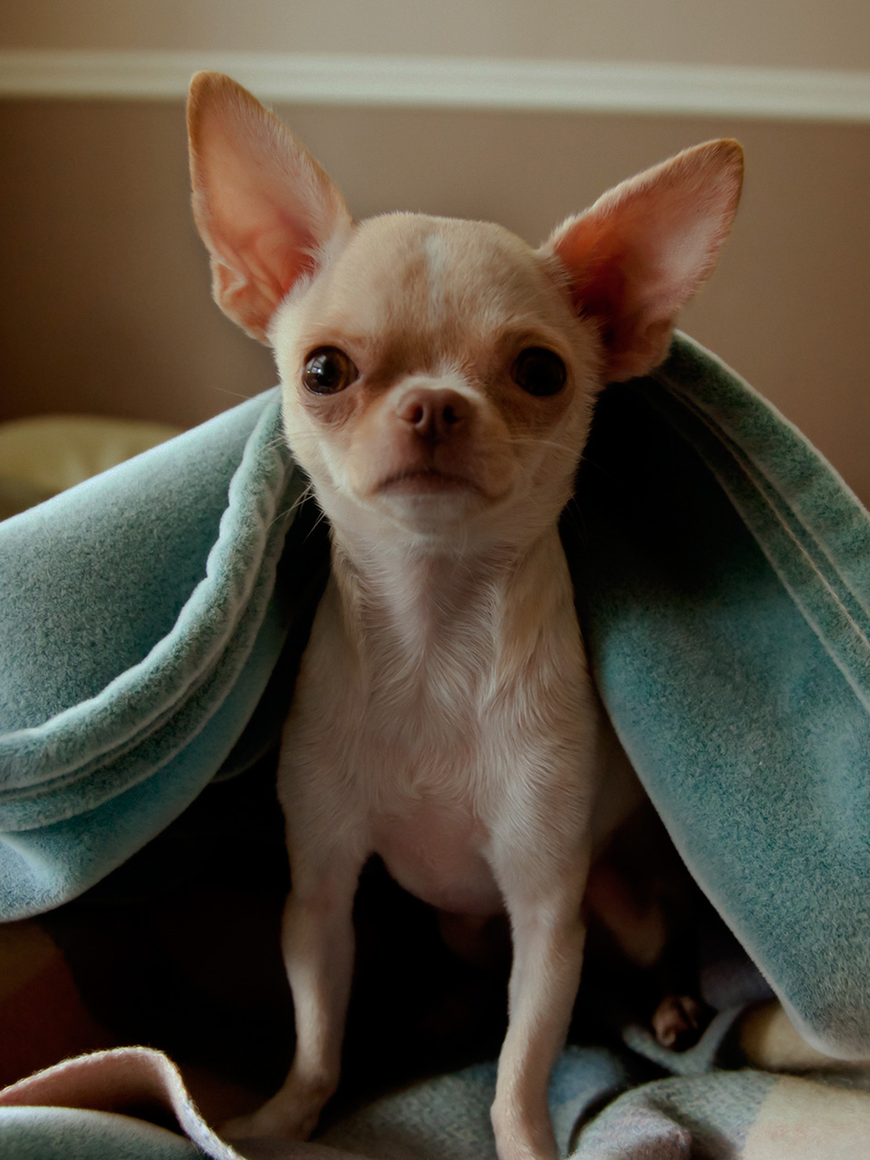 Facts About Miniature Teacup Chihuahuas